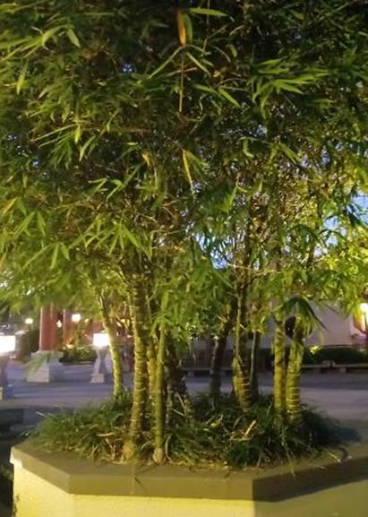 Dwarf Buddha Belly Bamboo Bambusa Vulgaris Wamin Orlando